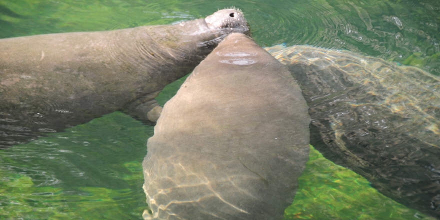 Manatees at Blue Spring State Park
